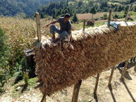Lakpa busy storing maize.