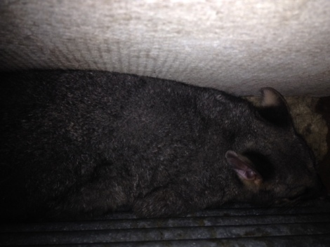 possum-in-wall